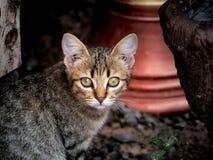 Tabby Kitten Staring fotografering för bildbyråer