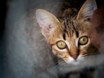 Tabby Kitten Staring arkivbilder