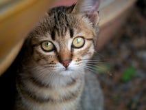 Tabby Kitten Staring royaltyfria bilder