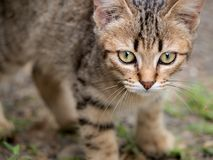 Tabby Kitten Staring royaltyfri bild