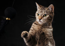 Tabby Kitten Striking at Toy. A nine month old tabby kitten is seen playing with a black ball with gold bells on a black background in this detailed studio shot Stock Photography