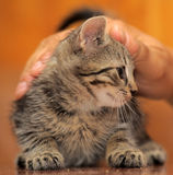 Tabby kitten stroked Stock Photos