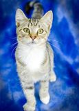 Tabby Kitten. Studio Adoption Animal Shelter Humane Society stock image