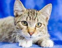 Tabby Kitten. Studio Adoption Portrait Animal Shelter Humane Society royalty free stock images