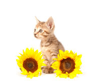 Tabby kitten with sunflowers Royalty Free Stock Photos