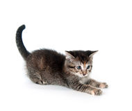 Tabby kitten swinging its paw Royalty Free Stock Photography