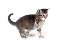 Tabby kitten swinging its paw Stock Photography