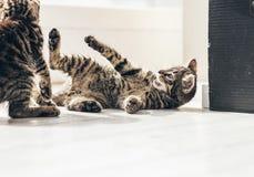 Tabby Kitten Trying juguetona para golpear a su compañero con el pie Fotos de archivo libres de regalías