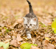 Tabby kitten walking in autumn park Stock Images