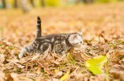 Tabby kitten walking in autumn park Stock Photos