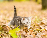 Tabby kitten walking in autumn park Royalty Free Stock Images