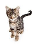 Tabby Kitten Walking Forward nova imagem de stock royalty free