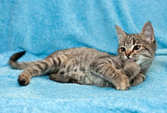 Tabby kitten wash up. Tabby kitten lies and wash up on blue background Royalty Free Stock Image
