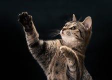 Tabby Kitten Waving Lizenzfreie Stockbilder