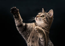 Tabby Kitten Waving Royalty Free Stock Images