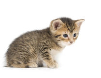 Tabby kitten on white Royalty Free Stock Images