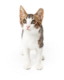 Tabby Kitten With White Markings Standing Royalty Free Stock Photos