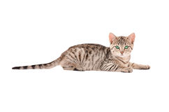 A Tabby Kitten on White Royalty Free Stock Photography