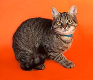 Tabby kitten with yellow eyes in blue collar lying on orange Royalty Free Stock Images