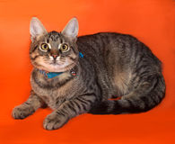 Tabby kitten with yellow eyes in blue collar lying on orange Stock Photography