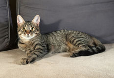Tabby kitten with yellow eyes lying on couch Royalty Free Stock Photo