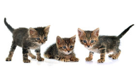Tabby kitten Royalty Free Stock Photos