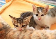 Tabby Kittens lizenzfreie stockfotografie