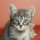 Tabby Kittens Fotografia Stock