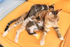 Tabby kittens with cat. Egyptian cats - tabby little kitties with adult cat lying on orange carpet stock photos