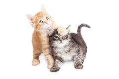 Tabby Kittens espiègle drôle sur le blanc Photographie stock libre de droits