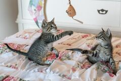 Tabby Kittens on Floral Comforter Stock Photos