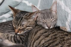 Tabby Kittens Sleeping Royaltyfri Foto