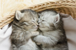 Tabby kittens sleeping and hugging in a basket Royalty Free Stock Photography