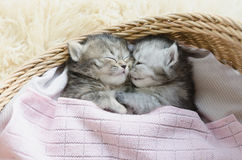 Tabby kittens sleeping and hugging in a basket Stock Image