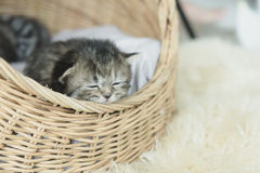 Tabby kittens sleeping and hugging in a basket Stock Photo