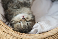 Tabby kittens sleeping and hugging in a basket. Cute tabby kitten sleeping in a basket Royalty Free Stock Photo