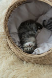 Tabby kittens sleeping and hugging in a basket. Cute tabby kitten sleeping in a basket Stock Image