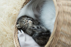 Tabby kittens sleeping and hugging in a basket Royalty Free Stock Image