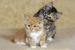 Tabby Kittens Royalty Free Stock Photography