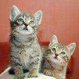 Tabby kittens Stock Photography