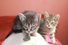 Tabby kittens Stock Photos