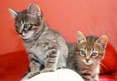 Tabby kittens Stock Image