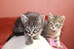 Tabby kittens Royalty Free Stock Images