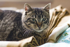 Tabby kitty cat. Lies on the bed royalty free stock photography