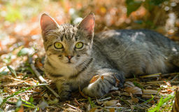 Tabby kitty cat sitting in the leaves out door. Tabby kitty cat sitting in the sun in the leaves out door royalty free stock photo
