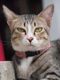 Tabby kot gapi się my Zdjęcia Stock