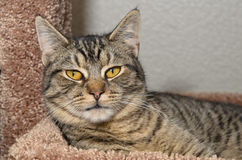 Tabby kot kłaść na miękkim brown łóżku fotografia royalty free