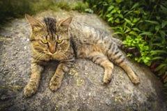 Tabby kot odpoczywa na skale Zdjęcie Royalty Free