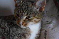 Tabby kot patrzeje niebezpiecznie Zdjęcia Stock