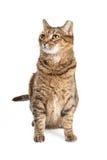 Tabby kot Siedzi Przyglądający Boczny i up Obrazy Stock